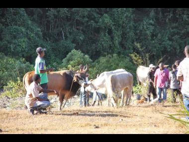 Farmers wait for prospective buyers for their cattle at British, Clarendon.