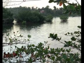 A section of mangrove forest inside Clear Spring, Eastern Portland.
