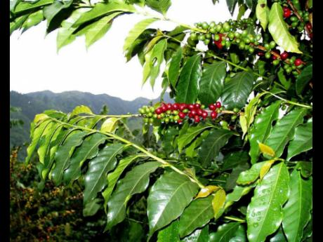 Coffee cherries hang from a tree in the mountains. A new registration drive aims to map all Jamaican coffee farms and farmers by July 31, 2019.