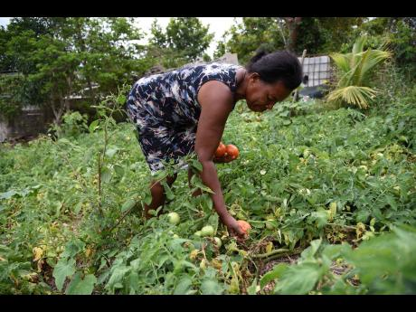 Elaine  Simpson, a farmer in Melsam, South East St Elizabeth, picks tomatoes despite the fact that there's no market at the moment  because of the shutdown in the hotel sector due to the  COVID-19 pandemic.