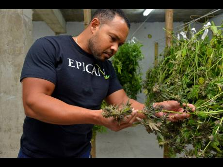 File Epican CEO Karibe McKenzie inspects a marijuana plant, code-named Girl Scout Cookie, at the company's farm at Mavis Bank,  St Andrew, in December 2018.