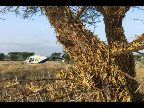 Locusts swarm a tree south of Lodwar town in Turkana county, northern Kenya, on Tuesday, June 23. The worst outbreak of the voracious insects in Kenya in 70 years is far from over, and their newest generation is now finding its wings for proper flight.