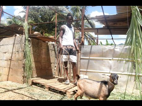 No kidding: Jermaine Black has kept the faith in farming despite losing goats to thieves.