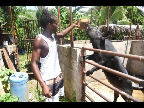 Thirty-year-old farmer Jermaine Black has been a farmer for seven years after trying unsuccessfully to get a job. He now cultivates cash crops and rears livestock.