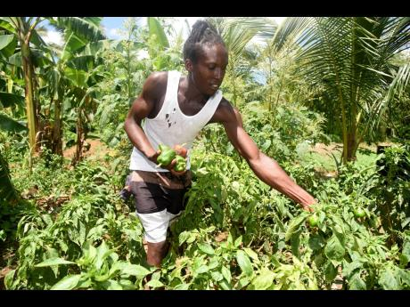 Jermaine Black reaps sweet peppers from his Charlemont farm on Thursday.