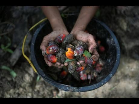 A little girl holds palm oil fruit collected from a plantation in Sumatra, Indonesia, on November 13, 2017.