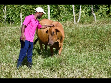 LaFrance Gayle tends to one of his seven cows. The livestock farmer has ambitions of venturing into sheep rearing as well as Irish and sweet potato production.