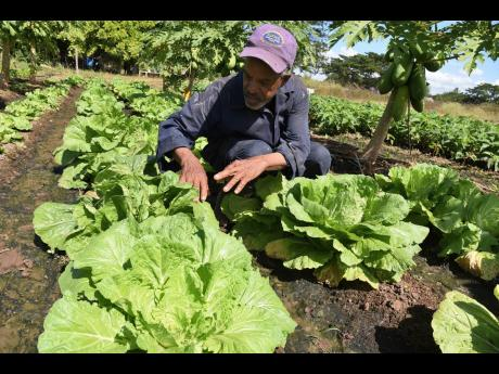 Leroy Delahaye tends to his Chinese cabbage patch in Bushy Park, St Catherine.