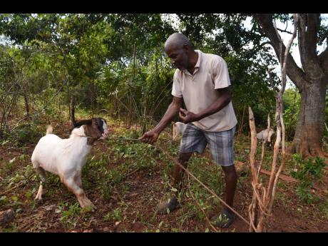 Sixty-year-old farmer James Ferguson of Cherry, St Catherine, cultivates cash crops and rears a few goats. Jamaica's dairy goat sector offers promise, some local experts believe.