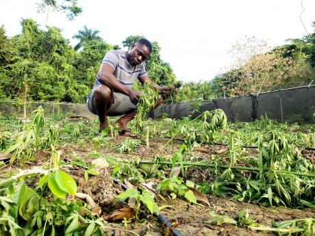 Royan Harris, a member of a Rastafarian faith group, surveys a destroyed marijuana field in Dumfries, St Thomas. He alleges that the narcotics police wiped out the crop despite his pleas that the faith group had a sacramental right to cultivate weed.