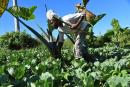 In this 2020 file photo, Norman Spence, a blind farmer, checks on cabbages during his daily visit on his farm in Kilmarnock, St Elizabeth.